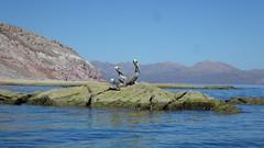 day 8 (sraanasol) Tags: ocean bird mexico meer kayak seakayak bajacalifornia pelikan baja baf vogel kajak seekajak seekajaktour