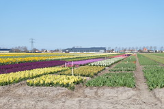Colourful flowers (DennisM2) Tags: colorful colourful hyacinten daffodils kleurrijk hyacinths narcissen