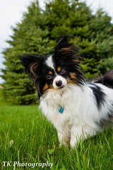 Auggie (Katoptris) Tags: lighting light portrait dog pet animal wisconsin puppy outside outdoors nikon natural candid canine full terrier papillon frame pup fx pupper available runt puppers d610