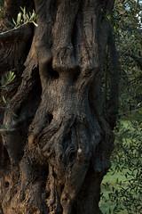 _DSC8991 (Gioporc) Tags: campagna tronco puglia drago giovanni faccia ulivo molfetta uliveto porcelli gioporc