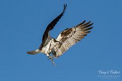 Osprey returns from Home Depot sequence - 9 of 27