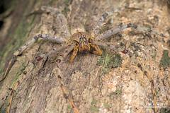 Huntsman spider (Heteropoda sp.) - DSC_8056 (nickybay) Tags: malaysia sabah maliaubasin maliau basin macro huntsman spider sparassidae heteropoda borneo