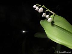 Convallaria majalis (Shiori Hosomi) Tags: flowers plants japan night tokyo nocturnal nightshot april   2016  convallaria asparagales asparagaceae    noctuary flowersinthenight noctivagant   23