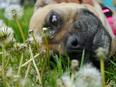 Sarah_08 (AbbyB.) Tags: flowers rescue dog pet yard newjersey weeds canine boxer shelter adopt shelterpet petphotography easthanovernj mtpleasantanimalshelter