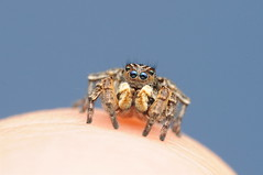 Jumping Spider (Aelurillus v-insignitus, male) (-denju-) Tags: macro diy flash handheld spinne makro diffuser springspinne photomacrography raynoxdcr250 nikond90 tamron60mm meikemk320 vfleckspringspinne