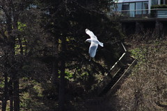 White In Flight 1 (RZaichkowski) Tags: seagulls toronto birds highpark april 2016 grenadierpond canonrebelt5