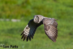 GG26 (Sam Parks Photography) Tags: trees wild summer usa bird nature animal forest rockies fly flying inflight spring wings woods nps wildlife unitedstatesofamerica ghost hunting feathers meadow aves raptor northamerica rockymountains hunter wyoming greatgrayowl soaring phantom predator carnivorous naturalworld jacksonhole avian soar hunt tetonrange parkservice strigiformes grandtetonnationalpark predatory strixnebulosa gye mountainous carnivora strigidae gtnp greateryellowstoneecosystem horizontalorientation carniore