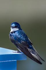 DSC_9783-2 (rskim119) Tags: ca blue tree bird animal nikon san wildlife joaquin swallow tamron sanctuary irvine 70300 d3300
