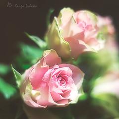 Roses (kinga.lubawa) Tags: colors canon rosa kwiaty kwiat kolory ra kolorowe rowy canon6d