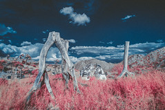 DSC_6497-Edit.jpg (THE THER COLLECTION) Tags: california pink nature ir outside nikon outdoor infrared dreamy wilderness valentinesday nofilter infraredphotography d300ir wildbayarea
