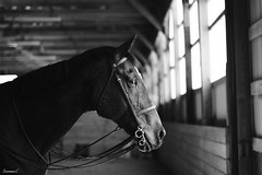 Ivan (suzcphotography) Tags: horse monochrome canon 50mm cross ivan jumper hunter equestrian thoroughbred equine t3i trakehner