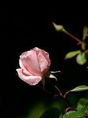 El jard de la rosa (queropere) Tags: amor rosa vida amistad cultura santjordi queropere emoci decolorrosa dejard