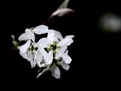 (Polotaro) Tags: flower nature pen garden olympus    4    mzuikodigital45mmf18 epm2