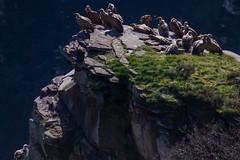 ItsusikoHarria-58 (enekobidegain) Tags: mountains montagne vultures monte euskalherria basquecountry bui pyrnes pirineos mendia buitres paysbasque nafarroa pirineoak bidarrai saiak vautours itsasu itsusikoharria
