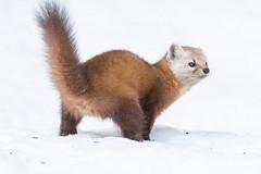 Pine Marten Identity Crisis (NicoleW0000) Tags: wild pine pose funny wildlife skunk marten blooper