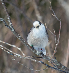 Arrowhead and Algonquin PP (pbruch) Tags: winter wild snow ontario birds animals grey waterfall spring jay wildlife fox