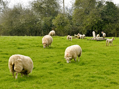 Springtime Joy (Dreamsmitten) Tags: trees green hedge firstday lambs eatinggrass