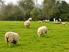 Springtime Joy (Dreamsmitten) Tags: trees green hedge firstday lambs eatinggrass