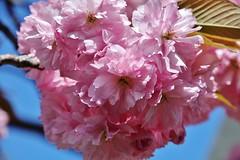 Flowering (Hugo von Schreck) Tags: macro flowering makro blte f13 tamron28300mmf3563divcpzda010 canoneos5dsr hugovonschreck