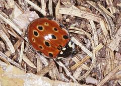 Eyed Ladybird (Prank F) Tags: macro nature closeup insect wildlife sandy beetle ladybird ladybug eyed thelodge rspb bedfordshireuk