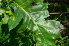 Balcones District Park April 2016-8 (Rick Byrnes) Tags: austin leaf walnutcreek redoak balconesfault balnconesescarpment