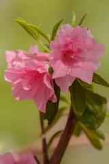 Pink Azalea (brev99) Tags: pink flowers flower bokeh azalea d7100 nikviveza tamron180f35