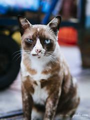 CAT 88: Cappuccino (ongushi) Tags: blue pet brown coffee animal cat thailand kitten bangkok kitty olympus panasonic cappuccino ongie ongushi