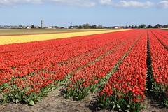 North of Keukenhof, Lisse, May 1, 2016 (cklx) Tags: red holland yellow spring tulips may tulip april brightcolors tulpen noordwijkerhout tulp lisse 2016 bollenstreek hillegom