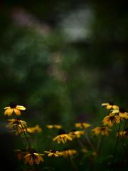 Rudbeckia triloba (Sayo S) Tags: autumn flower garden olympus september mygarden rudbeckia microfourthirds