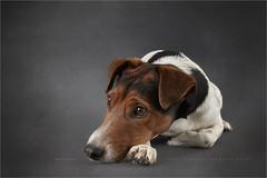 Bored... (Marijke M2011) Tags: dog pet cute animal studio indoor hond huisdier foxterrier patience petportrait dogportrait boerenfox studiolightning hondenportret