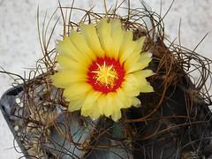 Astrophytum capricorne v. aureum (Resenter89) Tags: red cactus flower yellow cacti mix grasse desert 10 100v10f soil v mineral cactaceae piante kakteen astrophytum aureum capricorne succulente senilis cactacee