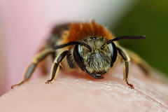 Miner bee warming up on my finger (Lord V) Tags: macro bug insect finger bee andrena minerbee