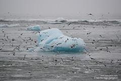 shs_n8_048687 (Stefnisson) Tags: bird ice berg birds landscape iceland glacier iceberg gletscher fugl glaciar sland icebergs jokulsarlon breen jkulsrln ghiacciaio jaki vatnajkull jkull jakar s gletsjer fuglar ln  glacir sjaki sjakar stefnisson