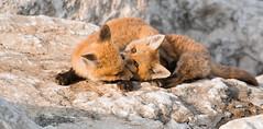 Red Fox Kits playing in the last light of the day! (Fotos by M) Tags: nature animals nikon rocks naturallight missouri redfox lowepro miguelacosta nikond500 redfoxkit missouriphotographers fotosbymi siruip424s