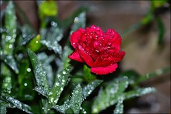 Carnation (franciska_bosnjak) Tags: red plant flower nature nikon outdoor raindrops carnation waterdrops