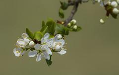 Promesses (mrieffly) Tags: mirabellier canoneos50d arbresfruitiers printempsvosges fleursdefruitier 100400issriel