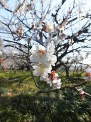 16i5165 (kimagurenote) Tags: apricot ume 梅 japaneseapricot ウメ prunusmume sogabairin 曽我梅林 神奈川県小田原市 odawarakanagawa