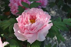 Paeonia suffruticosa Hana Kisoy (douneika) Tags: hana paeonia suffruticosa kisoy