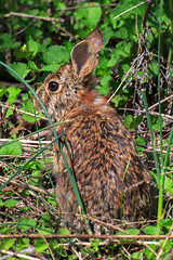 Hare (judyflo1) Tags: nature animal hare nj