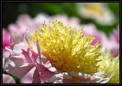 IMG_1589 A Peony for Your Thoughts 4-24-16 (arkansas traveler) Tags: flowers nature zoom bokeh peony telephoto memphisbotanicgarden bokehlicious naturewatcher