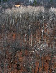 Leaves have Fallen (Steven Cushman) Tags: park trees brown leaves minnesota state aspen itasca