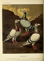 n255_w1150 (BioDivLibrary) Tags: pigeons fieldmuseumofnaturalhistorylibrary bhl:page=49799123 dc:identifier=httpbiodiversitylibraryorgpage49799123