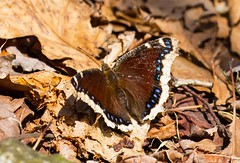 840A3217 (rpealit) Tags: nature water butterfly scenery mourning wildlife gap trail national area cloak recreation delaware appalichian
