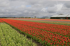 Tulpen in Lisse (Knoffelhuisie Photography.) Tags: red plant flower holland texture field rose landscape tulips bright outdoor nederland wolken flowerbed tulip tuin rood bollen tulpe roze rode tulipaner tulp  lisse tulipfields  lale rooi bloembollen              tojiniso