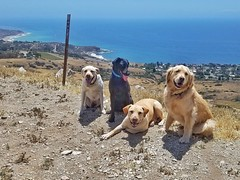 Cassie, Pablo, Otis, and Kelly about to charge down the hill! (Jake McGee) Tags: california goldenretriever labrador hiking adventure ranchopalosverdes