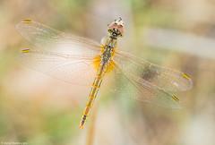 Red-veined darter zenital (David Martín López) Tags: naturaleza nature animal insect dragonfly libelula insecto zenital redveineddarter cenital sympetrumfonscolombii davidmartinlopez