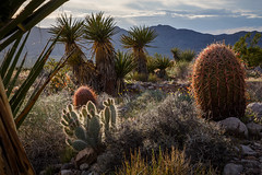 Cactus Near Gold Butte (Jeffrey Sullivan) Tags: travel flowers cactus copyright usa jeff nature canon landscape photography gold march photo spring butte bureau united nevada management whitney land wildflowers backlit states sullivan pocket blm 2015 5dmarkiii