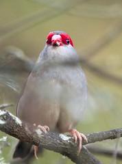 Red-Browed Finch - Locked (OM-Digital) Tags: red creek walking birding australia melbourne olympus finch tc bushwalk f28 f4 sb omd 40150mm redbrowedfinch localpark em5 parksvictoria bushwalker f28pro em5mark2