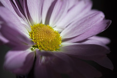 Center (Photo Amy) Tags: winter flower sunshine yellow petals purple petal daisy vase pollen winterlight 100mmf28 canoneos50d