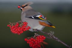 Bird and Berries (kdee64) Tags: winter yukon whitehorse bombycillagarrulus bohemianwaxwing migratorybird mountainashberries northerncanada